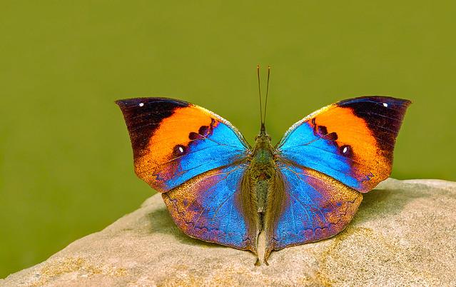 Orange Oakleaf - Kallima inachus