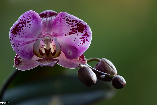 Today's season first spotted maroon Phalaenopsis bloom from our garden