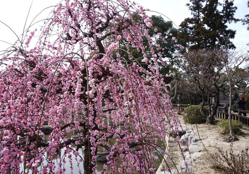 dazaifu tenmangu plum
