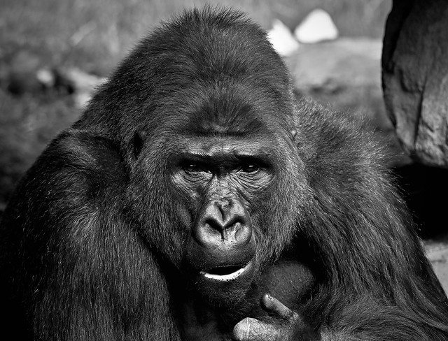Westlicher Flachland-Gorilla