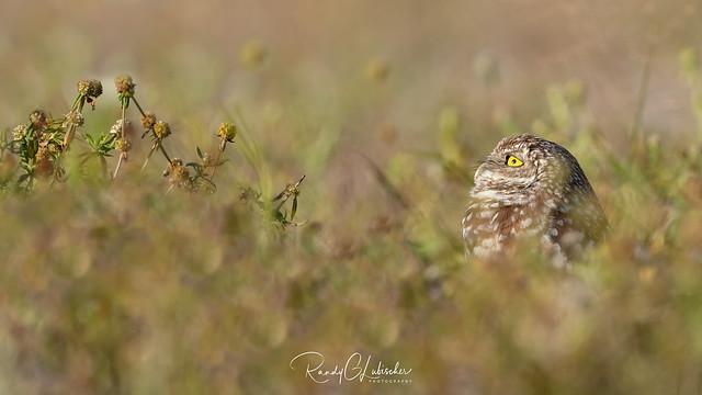 Burrowing Owl | Athene cunicularia | 2021 - 27