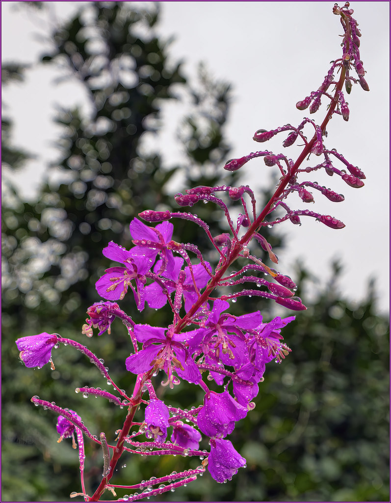 Fireweed - Wet
