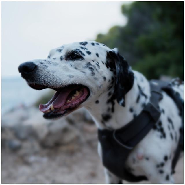 Maggie the Croatian Dalmatian gasps.