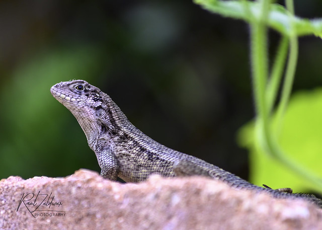 Curly-tailed lizard - [Explore! August 23, 2021] # 292