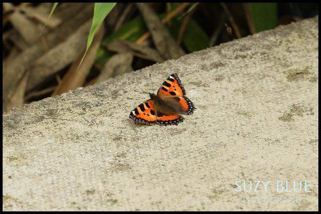 Tortoiseshell butterfly sunbathing