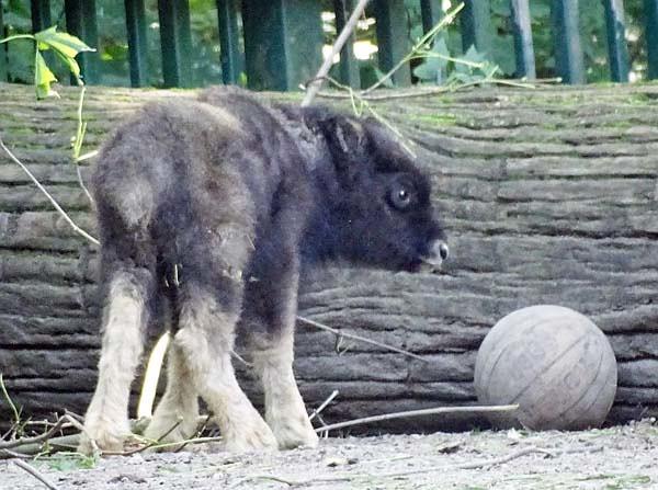 Alaska-Moschusochse-Tierpark-Berlin-Aktuelles-Freunde-Hauptstadtzoos-2-TP-13.08.21