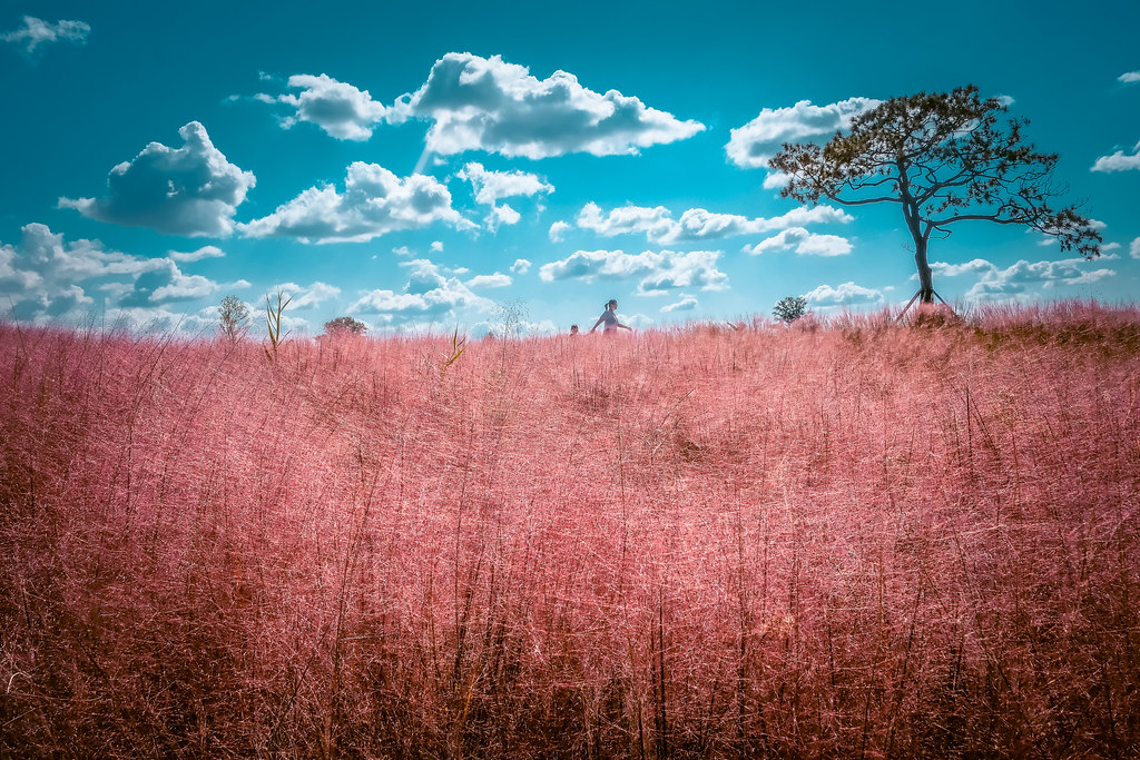 Pink Muhly in Anseong Farmland | Autumn in Korea