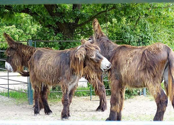 Poitou-Esel-Gummi-Daisy-Unik-Tierpark-Berlin-Aktuelles-News-Freunde-Hauptstadtzoos-TP-09.08.21