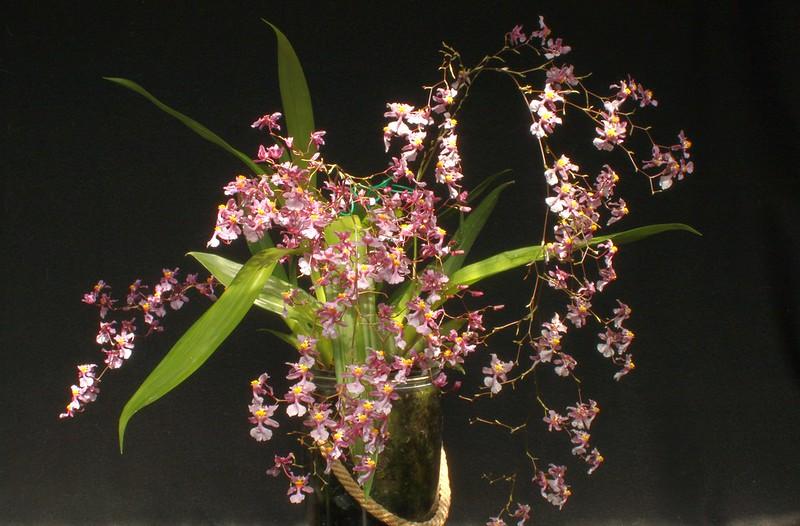 Oncidium sotoanum (syn. Onc.  ornithorhynchum hort.) - Seite 2 51394695247_1343d8beb8_c