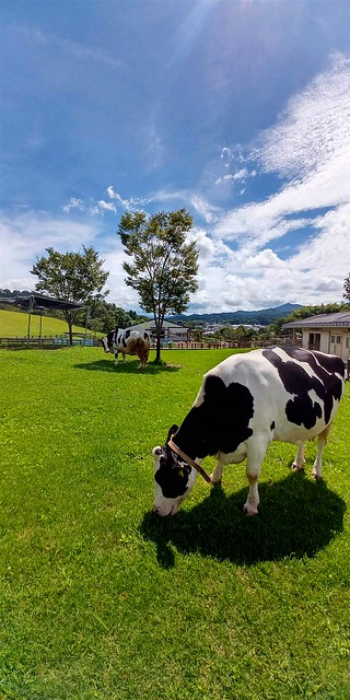 Sky and dairy cattle