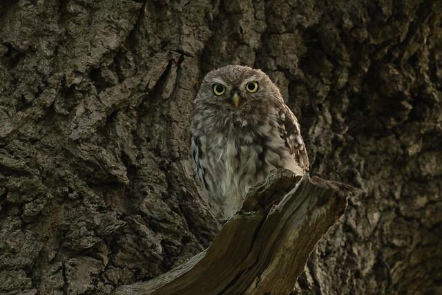 Little Owl (HH)