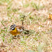 African golden-breasted bunting - Emberiza flaviventris - Acaciagors