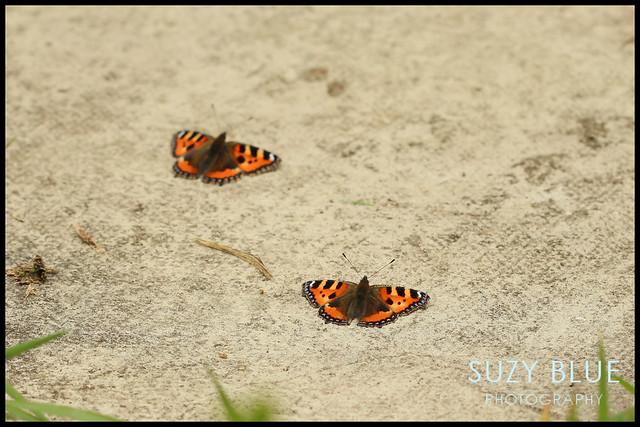 Tortoiseshell Butterflies sunbathing