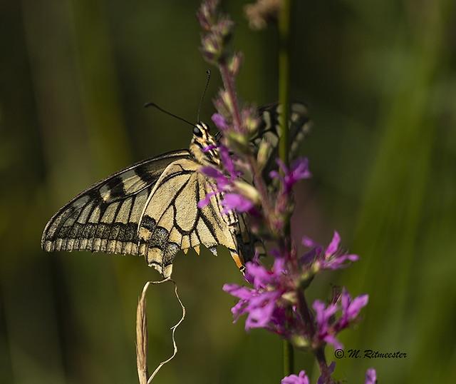 Koninginnenpage / Papilio machaon