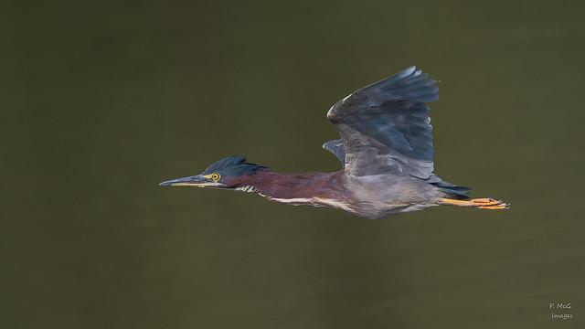 Green Heron   3254