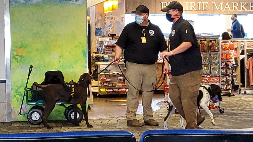 Bomb-sniffing dogs under training