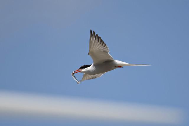 Visdiefje-Common Tern (Sterna hirundo)