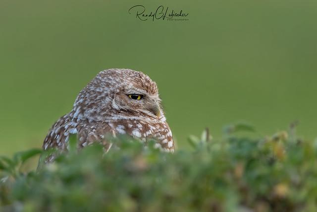 Burrowing Owl | Athene cunicularia | 2021 - 28