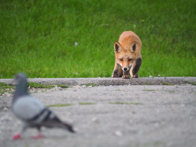 Red Fox and Rock Pigeon