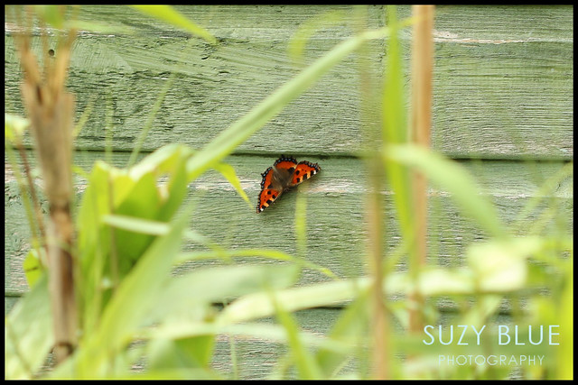 Tortoiseshell butterfly on shed