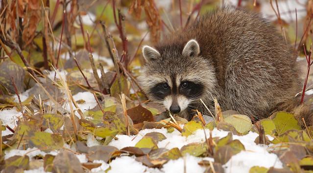 Young Raccoon...#21