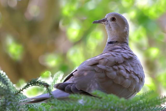 Rola de colar - Streptopelia decaocto - Eurasian collared dove