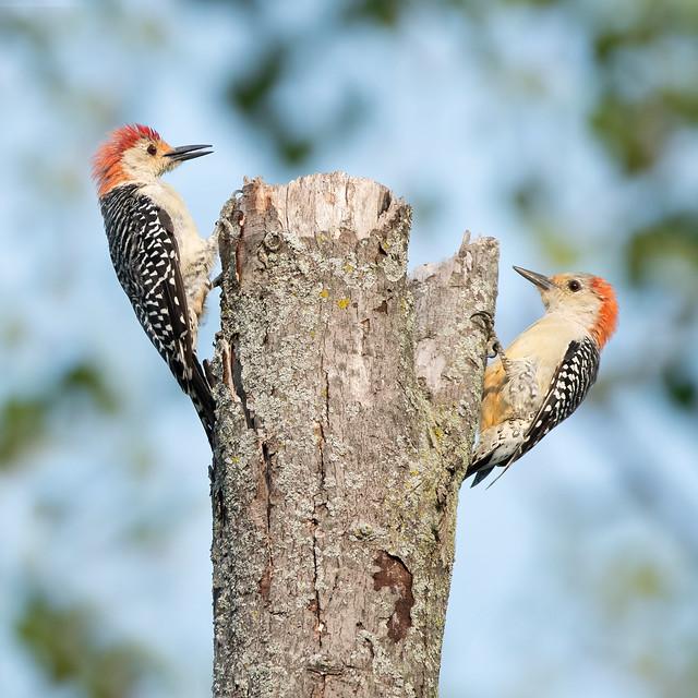 Red-Bellied Woodpecker 2021 03