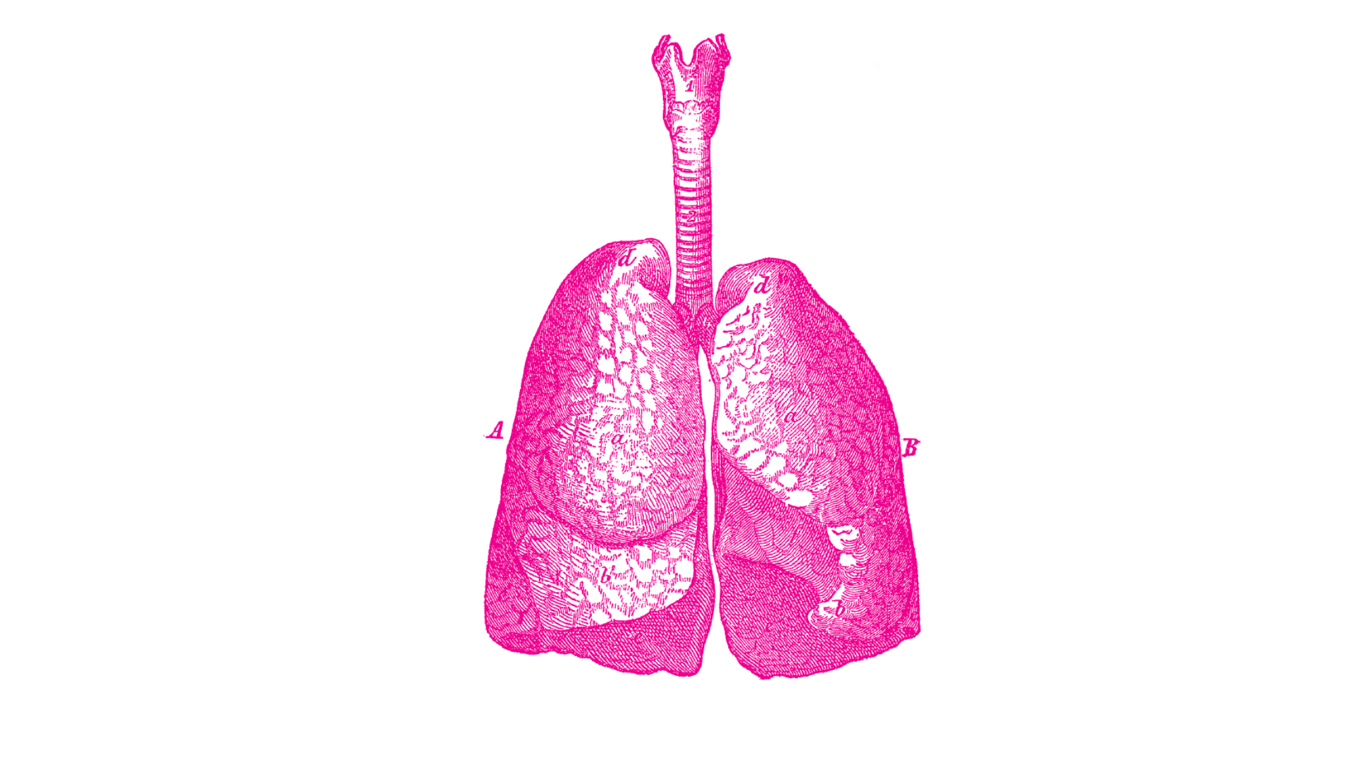 Line drawing of human lungs