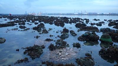 Living shores of Pulau Semakau (East), Aug 2021