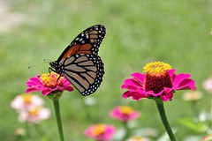 Two flowers and a butterfly
