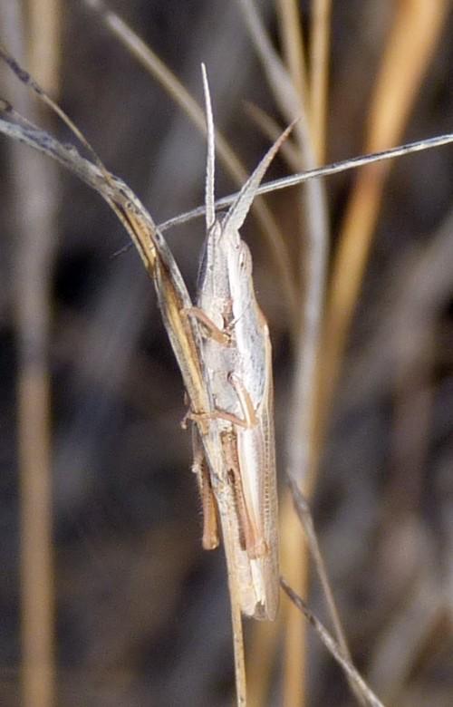 Brachycrotaphus tryxalicerus 51396946963_18bbfd1d91_o