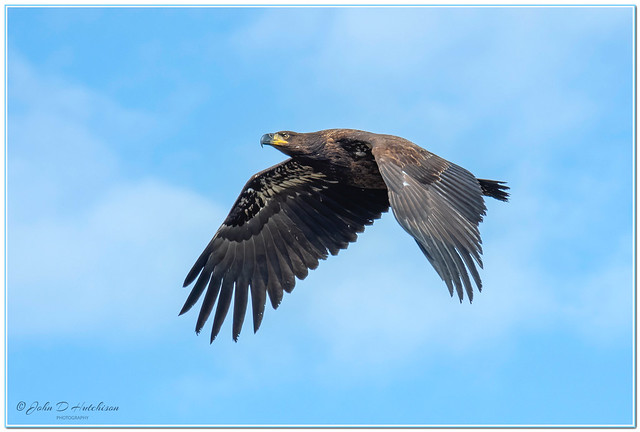 Bald Eagle ( Juvenile )