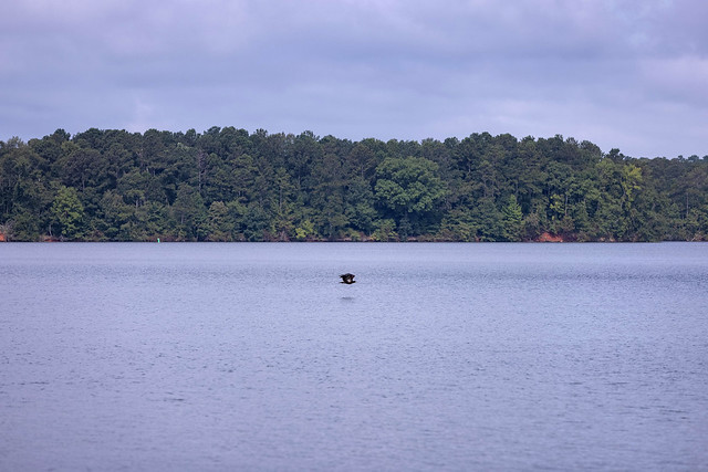 An eagle flies just above the lake.
