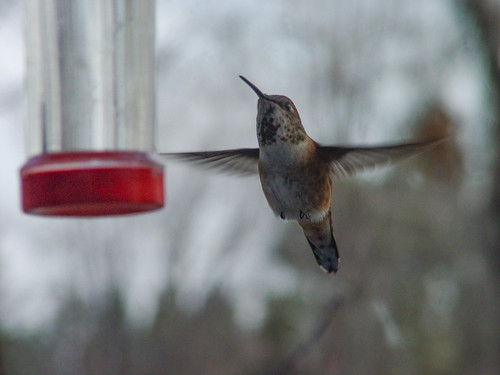 Rufous Hummingbird at feeder, November 2004