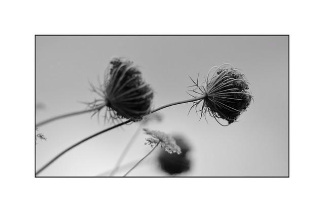 wildflowers [explored]