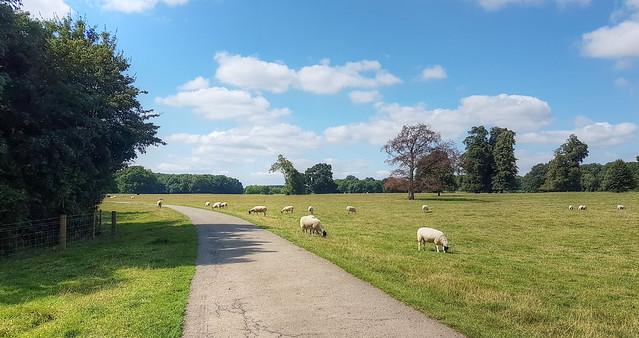 Sheep grazing near Cottesbrooke, Northamptonshire