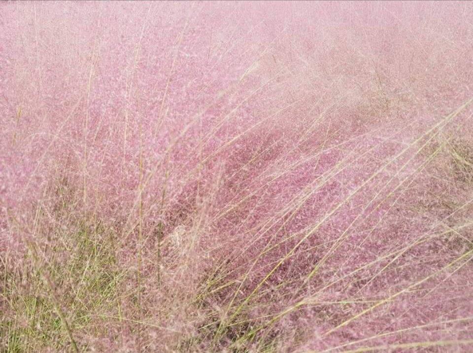 粉黛亂子草。照片來源:農委會臉書
