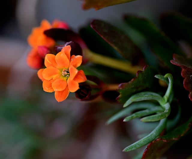 Floretes del jardí ..... (Kalanchoe blossfeldiana)