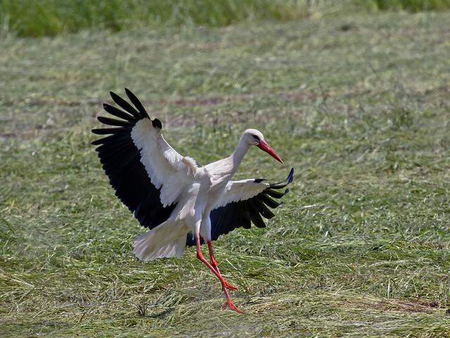 Ciconia ciconia /Cicogna bianca /white stork