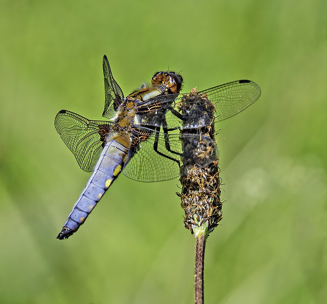 August 2021 Photography Competition - Dragonflies and Damselflies