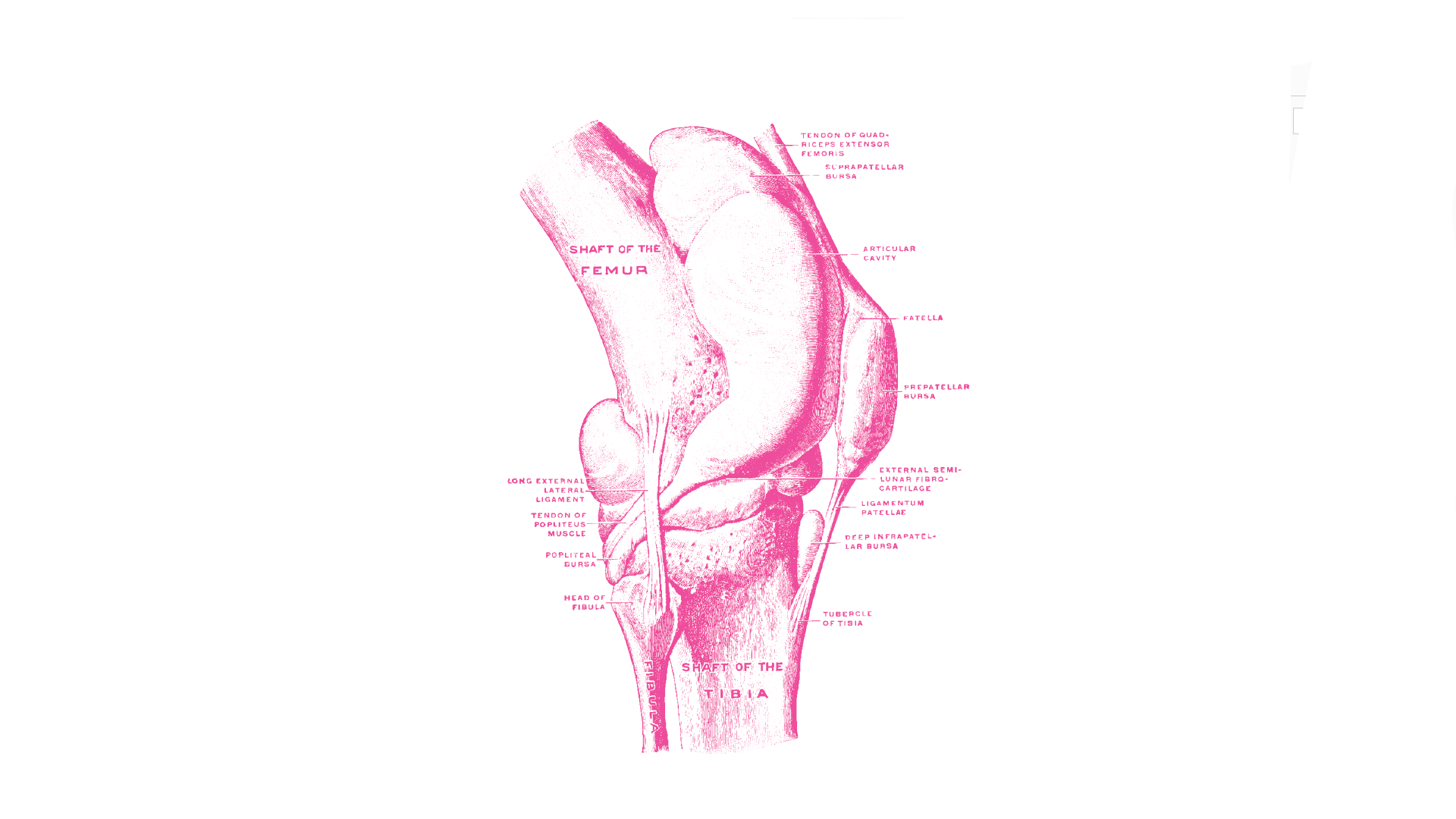 Line drawing of human knee anatomy
