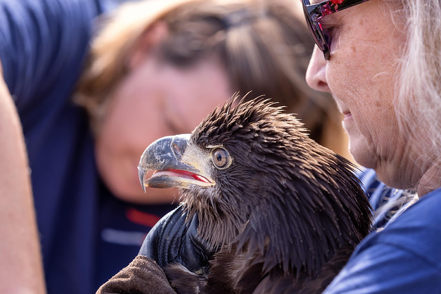 Two people holding a bald eagle.
