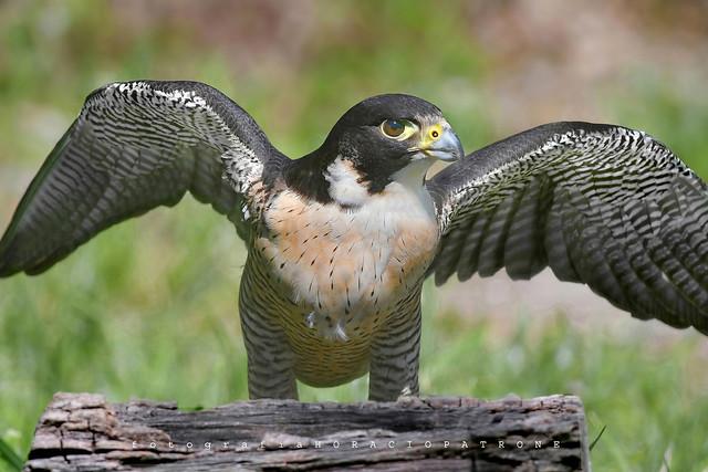 - HALCON PEREGRINO (Falco peregrinus) Peregrine Falcon toma en RESERVA ECOLOGICA COSTANERA SUR RECS. BUENOS AIRES .ARGENTINA .