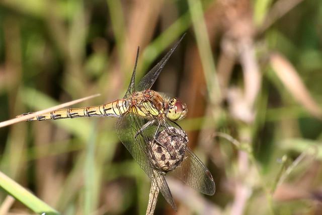 Common Darter (Sympetrum striolatum)