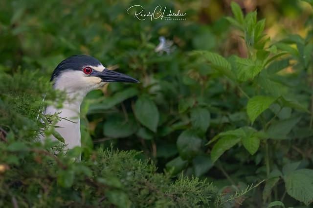 Black-crowned Night Heron   Nycticorax nycticorax   2021 - 9