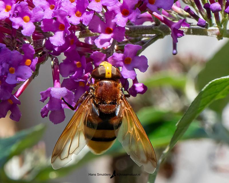 hoornaarzweefvlieg (Volucella zonaria)-850_5025