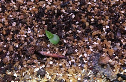 semis de Bromeliaceae 51399566836_002b119c6d