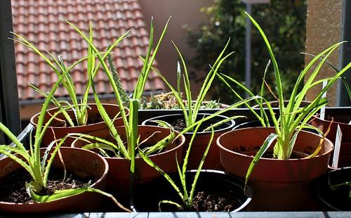 semis de Bromeliaceae 51399571661_00b1e7a2b5