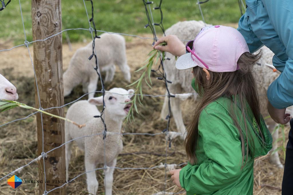 Feeding the lamb at Tonttula
