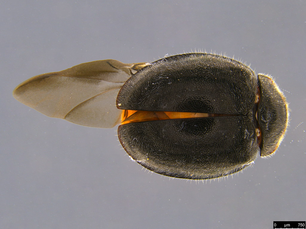 2a - Coccinellidae sp.